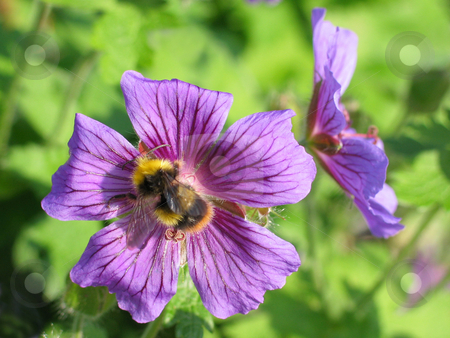 Geranium with Bumble Bee stock photo, Perennial geranium being visited by a bumble bee by Helen Shorey