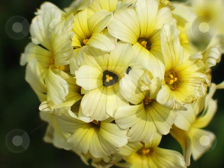 Sysirinchium Close up stock photo, Close up of a yellow sysirinchium striata - tiny beetle at no extra charge :) by Helen Shorey