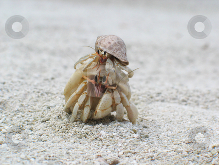A Free Ride stock photo, Two hermit crabs - the smaller one catching a free ride! by Helen Shorey