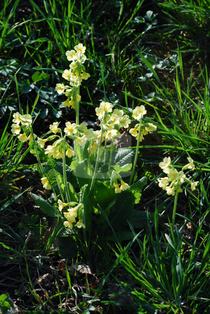 Primroses stock photo, Picture of primroses in a meadow by Sarka