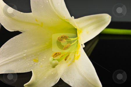 Closeup of a White Easter Lily on Black Background stock photo, This dramatic photo is of a white Easter lily flower, closeup against a black background. by Valerie Garner