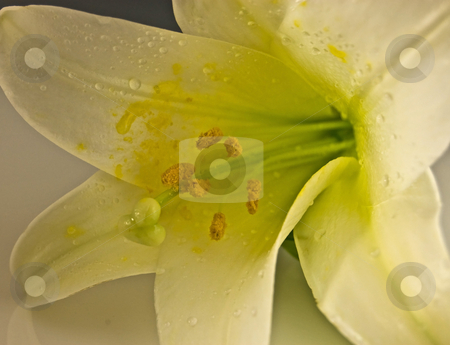 Macro Photo of a White Easter Lily stock photo, This macro shot of a white Easter lily is stunning with droplets of water and soft reflection beneath. by Valerie Garner