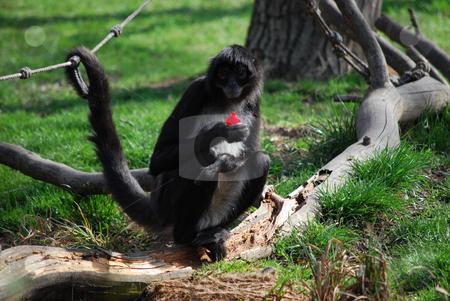 Monkey stock photo, A monkey in Prague zoo by Sarka