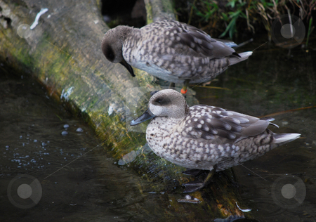 Ducks stock photo, Picture of ducks in Prague zoo by Sarka