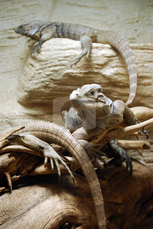 Iguanas stock photo, A picture of iguanas in Prague zoo by Sarka