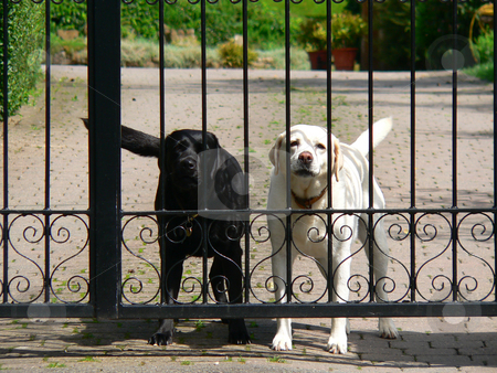 Stay out stock photo, Two dogs defending their territory behing a black iron gate by Casinozack