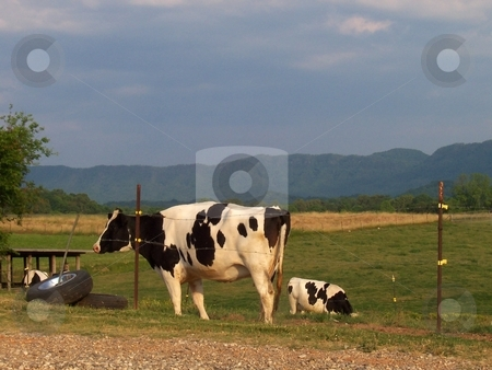 Holstein Dairy Cows stock photo, Holstein dairy cows in pasture with the Great Smokey Mountains landscape in background by Krystal McCammon