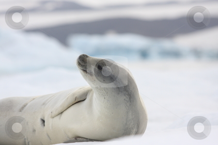Crabeater Seal lying on Iceberg stock photo,  by Chris Budd