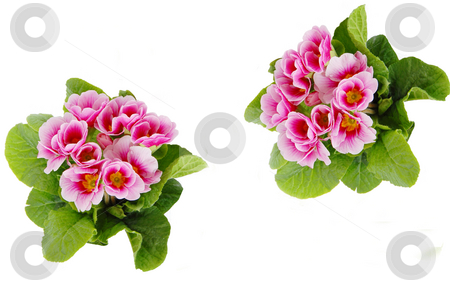 Spring flowers stock photo, Two bunches of pink spring flowers isolated on white by Julija Sapic