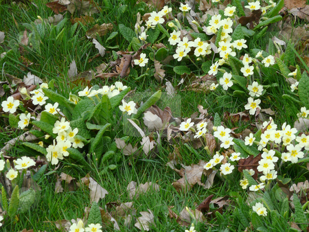 Wild Primroses stock photo, Wild primroses (primula) in a deciduous woodland area with fallen autumn leaves and long untended grass by Helen Shorey