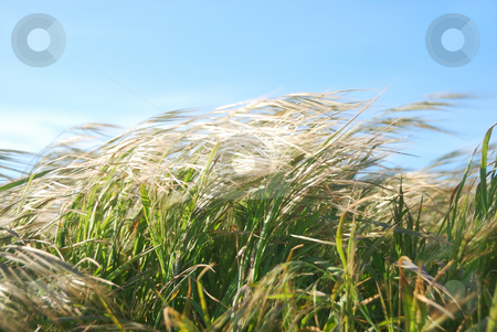 Windy Day Grass stock photo, Grass moving by the wind on a sunny day. by Denis Radovanovic