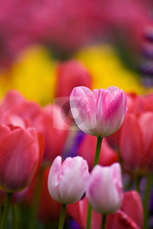 Tulip stock photo,  by Tomo Photography