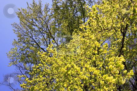 Beech in spring stock photo, Beech in spring photographed in Frankfurt Main, Hessen, Germany by Manuela Schueler