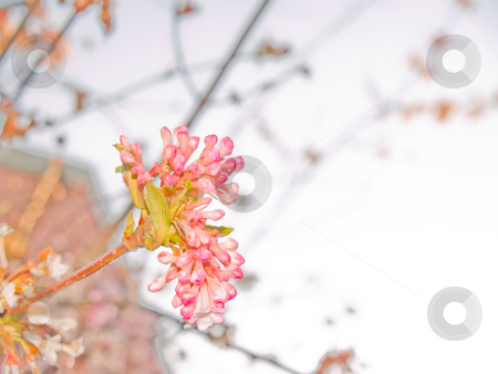 Spring time - pretty pink blossoms with copyspace stock photo, Spring time - pretty pink blossoms with copy space by Phillip Dyhr Hobbs