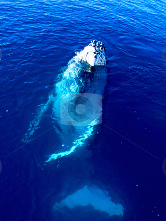 Majestic Humpback Whale in the big blue ocean stock photo, Majestic Humpback Whale in the big blue ocean looking at you by Phillip Dyhr Hobbs