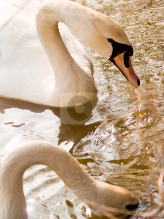 Two beautiful swans feeding in a lake stock photo, Two beautiful swans feeding in  a  lake by Phillip Dyhr Hobbs