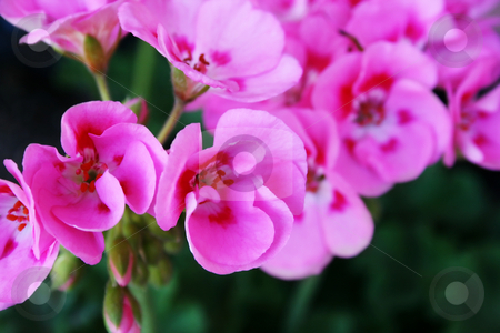 Geranium stock photo, Close up abstract shot of pink geranium flowers by iodrakon