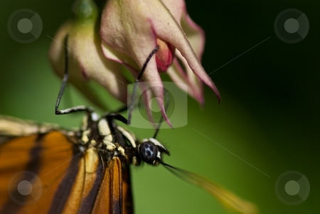 Butterfly collecting nectar stock photo, Butterfly collecting nectar by Charles Jetzer