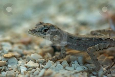 Baby Lizard stock photo, Baby Lizard by Charles Jetzer