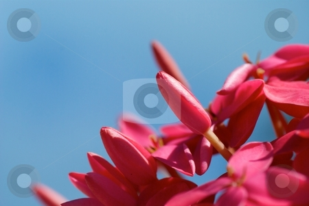 Pink on Blue stock photo, Closeup of pink blooms on a blue sky by Charles Jetzer