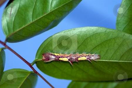 Caterpillar Hiding in Plain Sight stock photo, High contrast caterpillar hiding under a leaf by Charles Jetzer