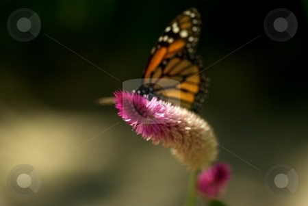 Monarch Butterfly on Bloom stock photo, Monarch Butterfly on Bloom by Charles Jetzer