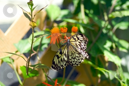 Butterfly on an Orange Bloom stock photo, Butterfly on an Orange Bloom by Charles Jetzer