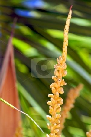 Coconut Palm I stock photo, Coconut Palm by Charles Jetzer