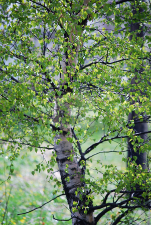 Birch stock photo, Picture of a birch in spring by Sarka