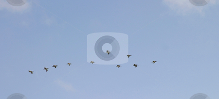 Pelicans stock photo, Pelicans flying in a group with a blue sky in the background. by Henrik Lehnerer
