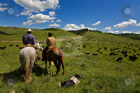 Cattle drive stock photo, Two cowboys and there dog working with a large herd of cattle by Steve Mcsweeny
