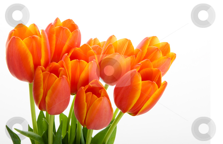Colorful tulips.jpg stock photo, Bunch orange and yellow tulips on a white background by Steve Mcsweeny