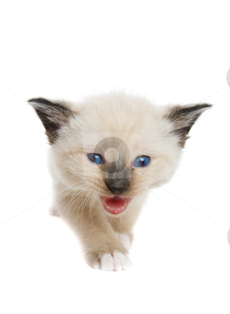 Siamese stock photo, A siamese kitten moving towards the camera by Steve Mcsweeny