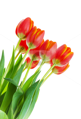 Tulip bouquet stock photo, A bunch tulips on a white background by Steve Mcsweeny