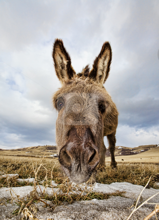 Little donkey stock photo, A close-up shot of a donkeys face with some snow patches by Steve Mcsweeny