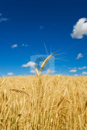 Wheat harvest stock photo, Wheat field and blue sky, shallow depth of field. by Steve Mcsweeny