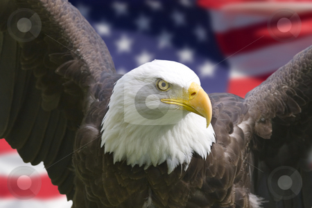 American eagle with flag stock photo, Bald eagle with American flag, focus on head (clipping path) by Steve Mcsweeny
