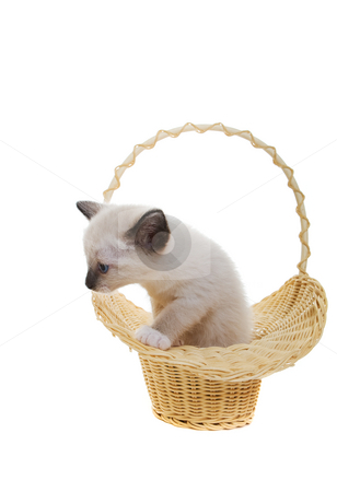 Snowshoe siamese stock photo, Snowshoe Lynx-Point siamese kitten in a basket by Steve Mcsweeny