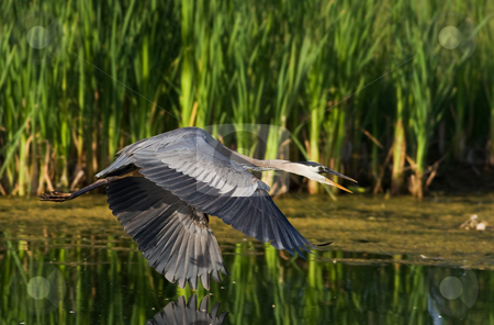 Blue heron flight stock photo, A great blue heron in flight over a calm lake by Steve Mcsweeny