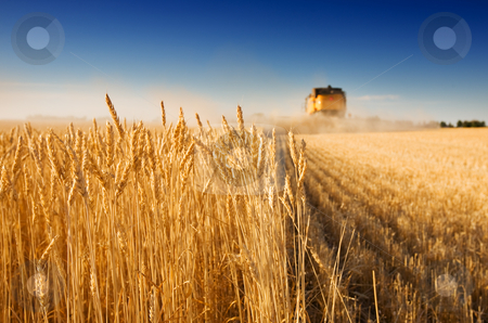 Harvest time stock photo, A combine harvester working in a wheat field,(focus on front row of wheat) by Steve Mcsweeny