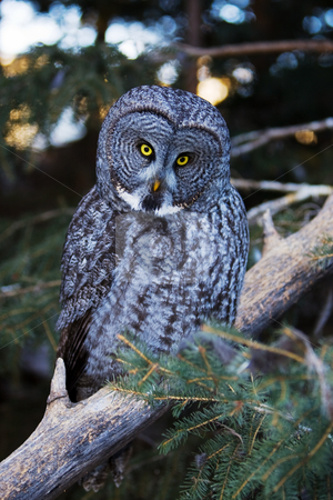 Great grey owl stock photo, A great grey owl perched in the forest by Steve Mcsweeny