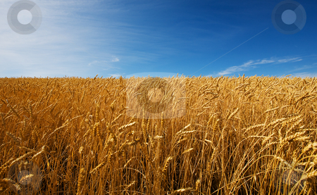 Field of wheat stock photo, A field of golden wheat and blue sky by Steve Mcsweeny