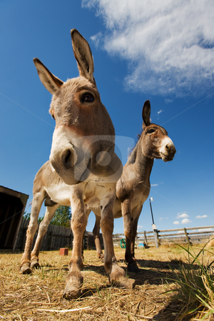 Two donkeys stock photo, Two donkeys in a coral one with neglected hooves by Steve Mcsweeny