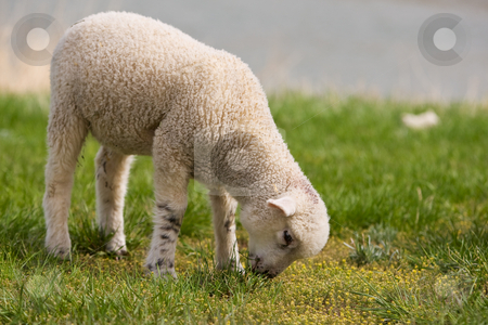 Lamb stock photo, A very young lamb grazing on grass (focus on the head) by Steve Mcsweeny