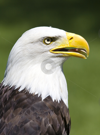 American eagle stock photo, Profile of a proud American bald eagle by Steve Mcsweeny