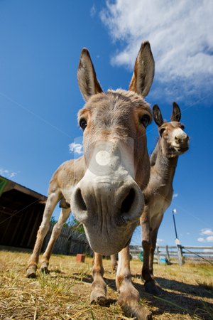 Donkey face stock photo, A close-up shot of a donkeys face by Steve Mcsweeny