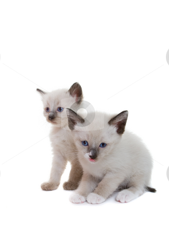 Siamese kittens stock photo, Two lilac point Siamese kitten on white background by Steve Mcsweeny