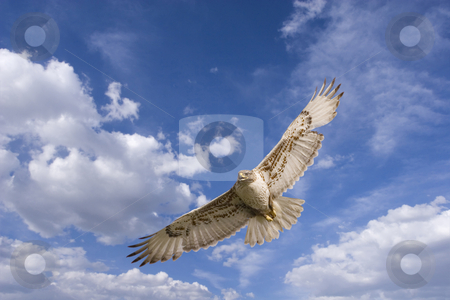 Hawk flight stock photo, Large hawk in flight (with path) by Steve Mcsweeny