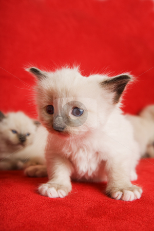 Siamese purebred stock photo, A two week old Siamese on a red background by Steve Mcsweeny