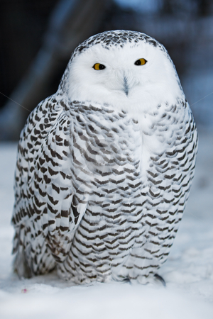 Snow owl stock photo, A close up of a snowy owl by Steve Mcsweeny